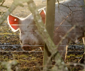 Pig behind fence image