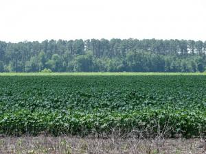 sweet potato fields