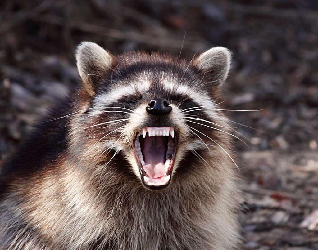 Rabies Season Strikes - North Carolina Health News Raccoon With Rabies