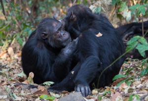 Two adult male chimpanzees at Gombe during a grooming session. This type of social interaction provides opportunities for the transmission of gut microbes. Photo by Steffen Foerster