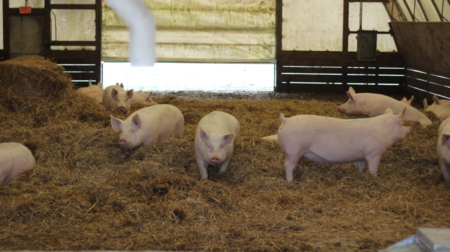 The hoop houses are laid with thick mats of straw, which serve as a bedding and a sponge for the animals' waste.