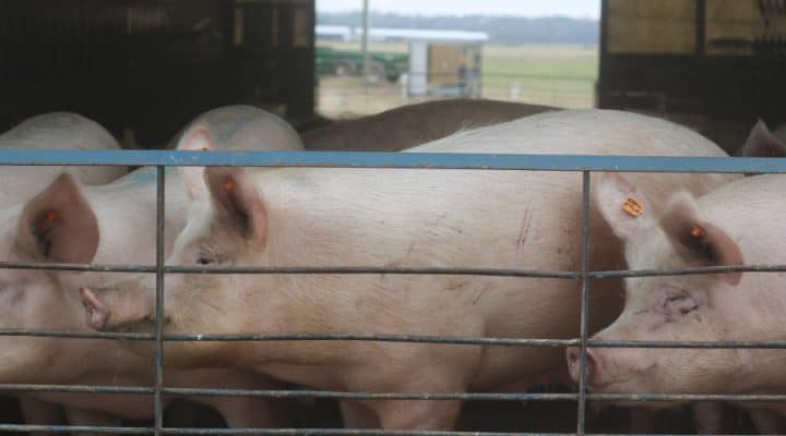 A Different Type of Hog Farm