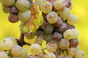 Botrytis cinerea fungus on Riesling grapes, noble rot. Fungus can badly damage food crops, ornamental plants and turf. Photo courtesy: Tom Maack, Wikimedia creative commons