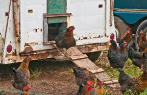 USDA_ChickenPhoto