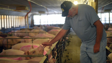 man reaches otu to touch a hog that's in a crowded pen.